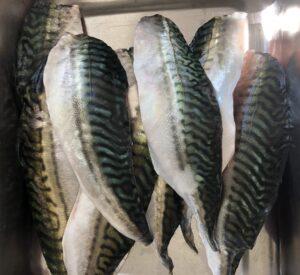 makrill, makrillfiske, Knippla